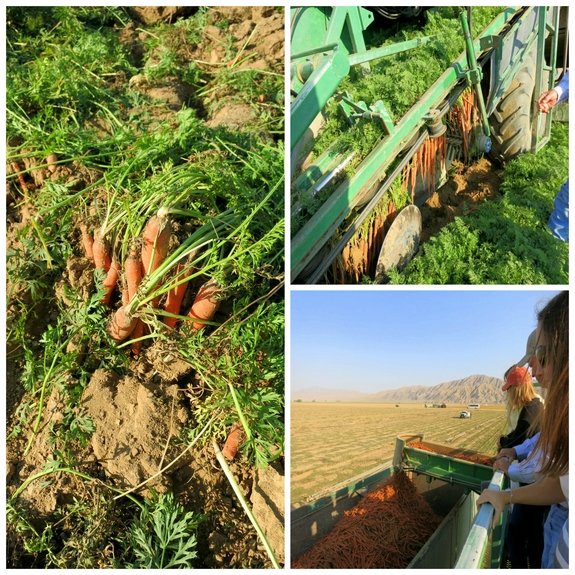 Noble Pig at Grimmway Farms learning about carrot production