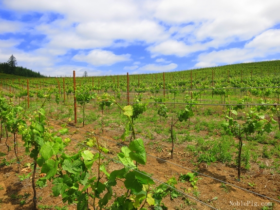 Noble Pig Vineyard June 2014 Oregon McMinnville
