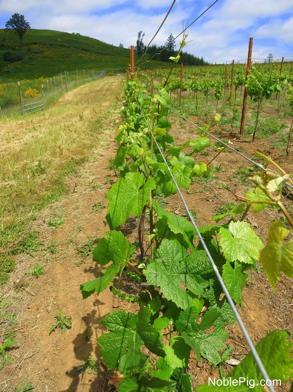 Noble Pig Vineyard June 2014 rows