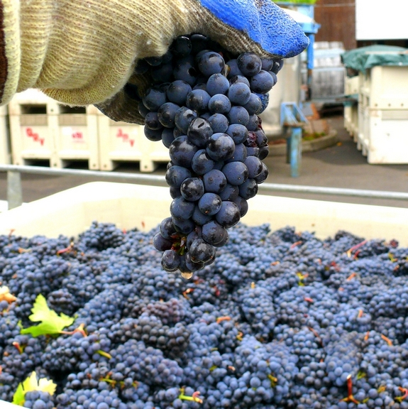 Grapes Clone 667 Pinot Noir Noble Pig Vineyards