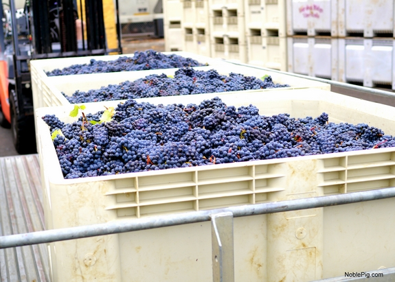 Noble Pig Winery Harvest 2014