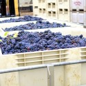 Noble-Pig-Winery-Harvest-20141