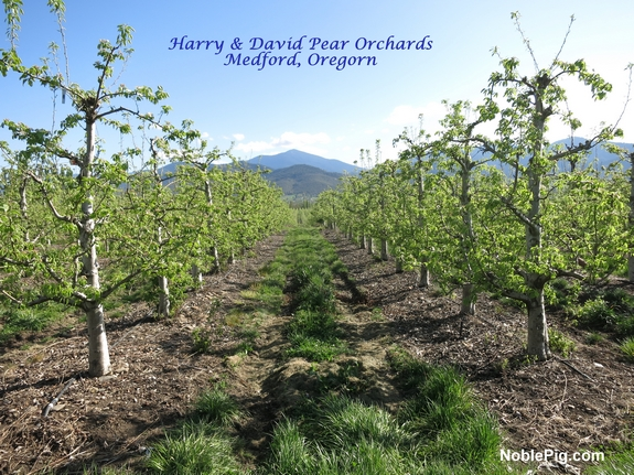 Harry David Pear Orchards Noble pig