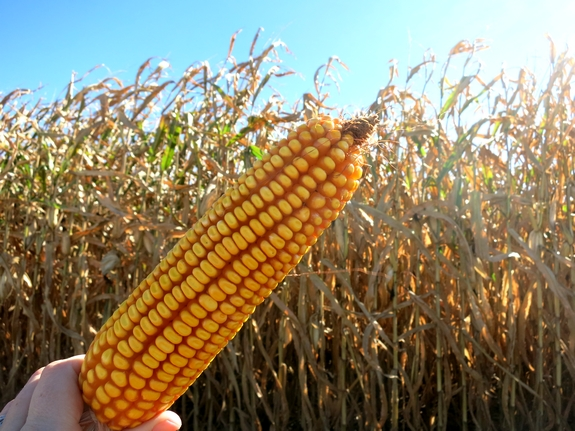 Iowa Corn Cob