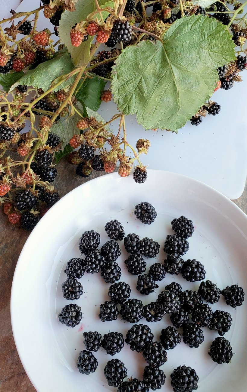 Blackberries in a bowl with a branch of blackberries.